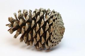 20 Stück Kiefernzapfen 14 - 18 cm